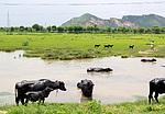 Indie - krávy