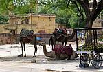 Indie - velbloudi