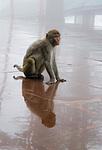 Indie - opice zloděj v Jakhoo Temple