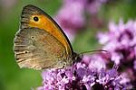 Vršatská bradla - motýl okáč bukový